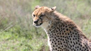 Conte sauvage du Serengeti