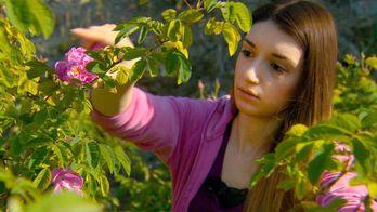 A l'aube dans les roseraies d'Agros