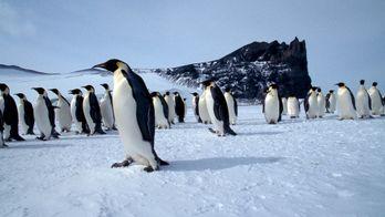 Les empereurs en Antarctique