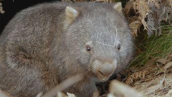 La vie secrète du wombat