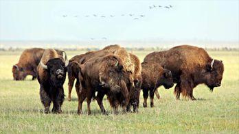 La mère de tous les bisons