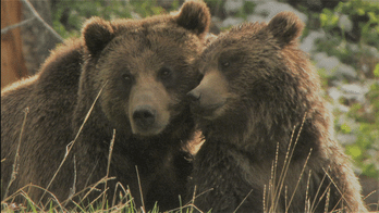 Yellowstone : le royaume du Grizzly