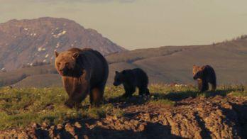 Yellowstone : la loutre, maître des rivières