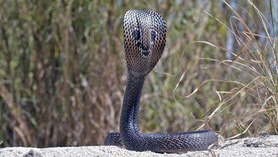 Sous le charme du cobra