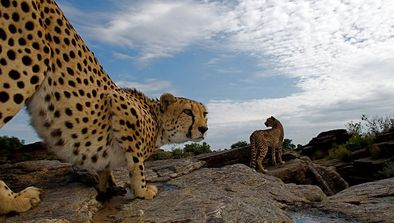 A la recherche du léopard