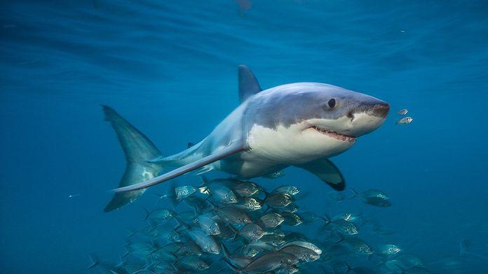 L'île aux requins