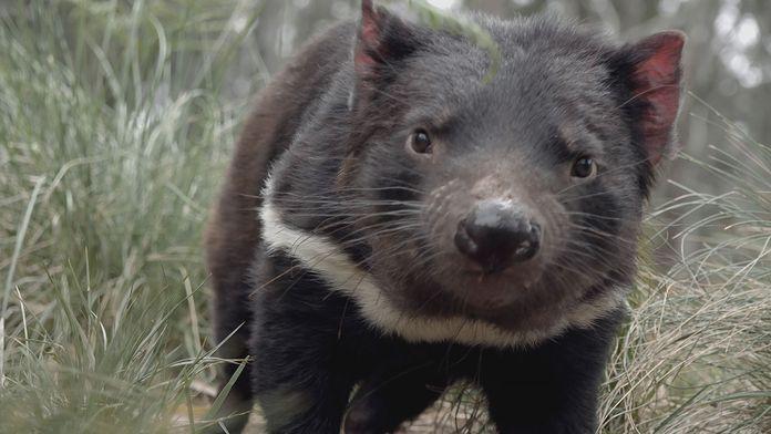 La vie secrète du diable de Tasmanie