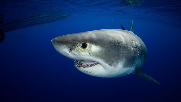 Le plus grand requin blanc