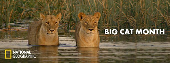 Big Cat Month - En février sur National Geographic