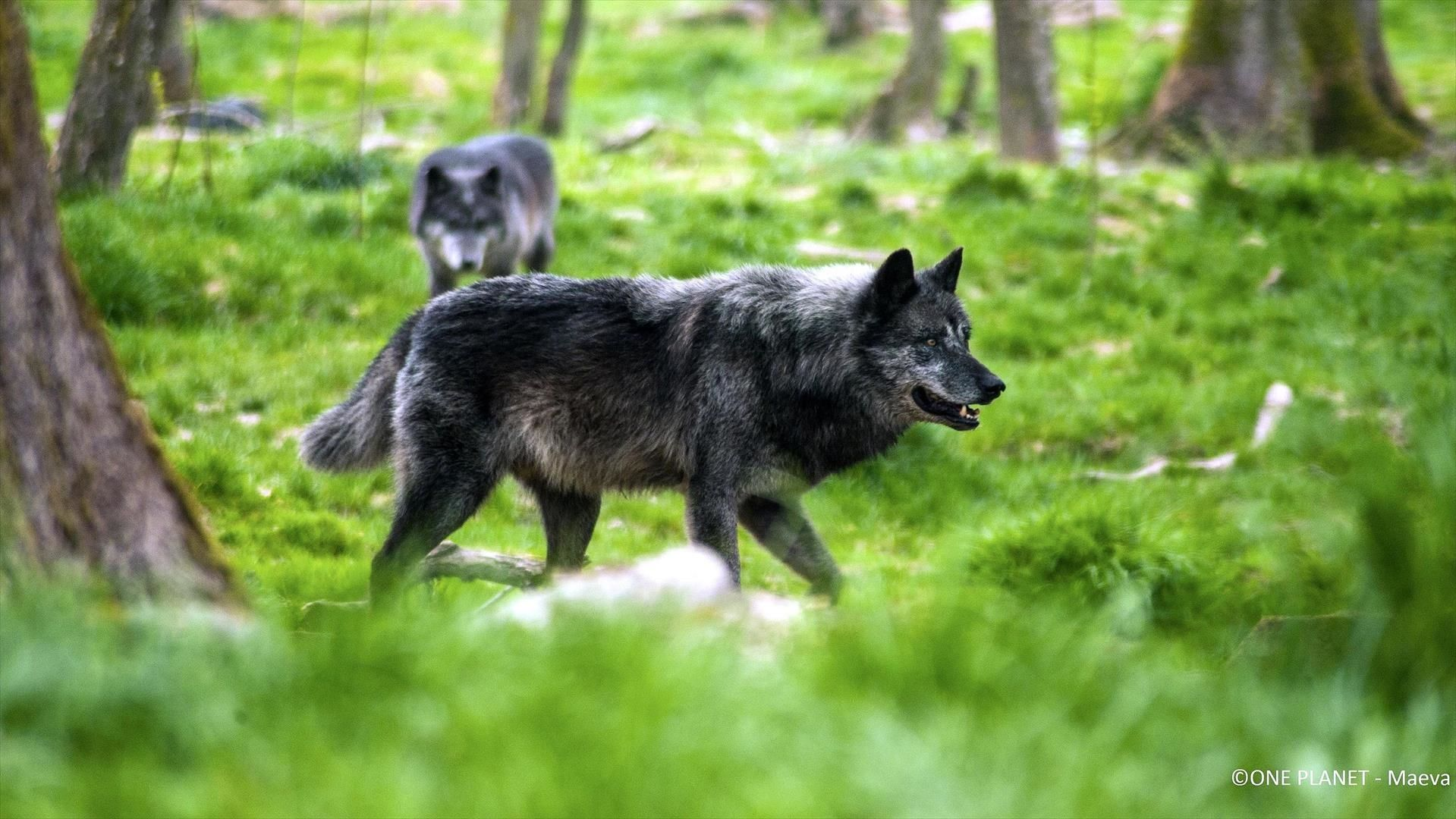 Yellowstone : le territoire des loups