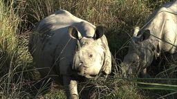 Le retour des rhinocéros indiens