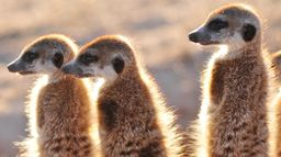 Klinky et les suricates du Kalahari