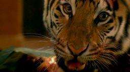Dans l'oeil du tigre