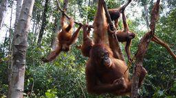Orangs-outans, la liberté retrouvée