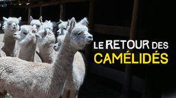 Le retour des camélidés