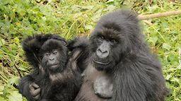 Grandeurs nature : Un amour de gorille