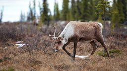 Grands voyageurs de la nature : Les caribous