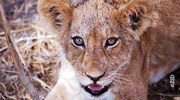 Grandeurs nature : La loi des lionnes