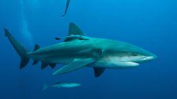 Requins en embuscade