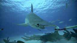 Bêtes de poissons : Invasion de requins-marteaux
