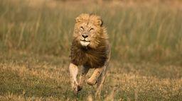 Les rois lions