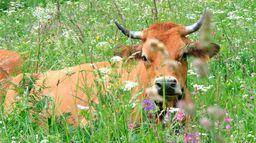 Była sobie krowa