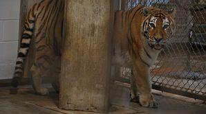 Reine des tigres