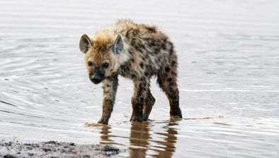 Ngorongoro : gangs de hyènes