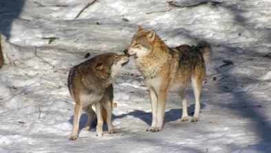 Le règne des loups