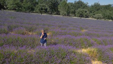 La lavande fine de Provence