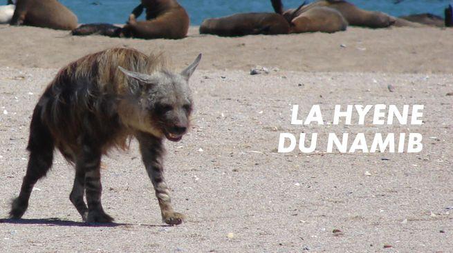 La hyène du Namib