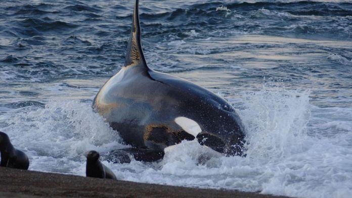 A l'école des baleines tueuses
