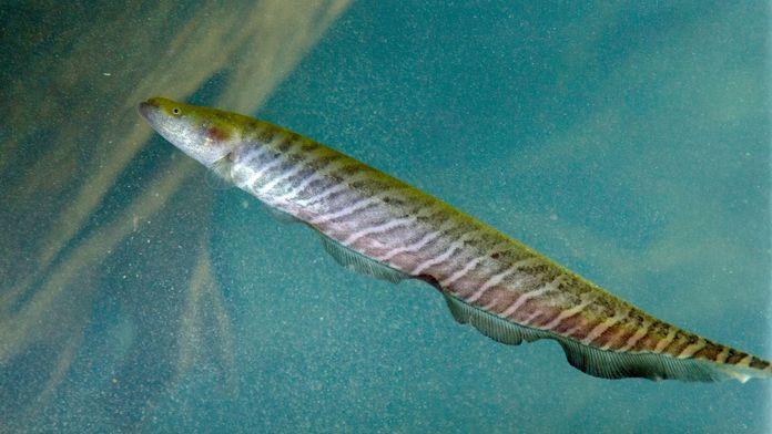 L'anguille électrique de l'Amazone