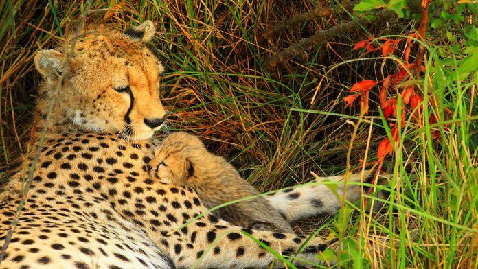 L'instinct du guépard