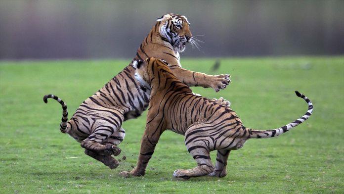 Le choc des tigres