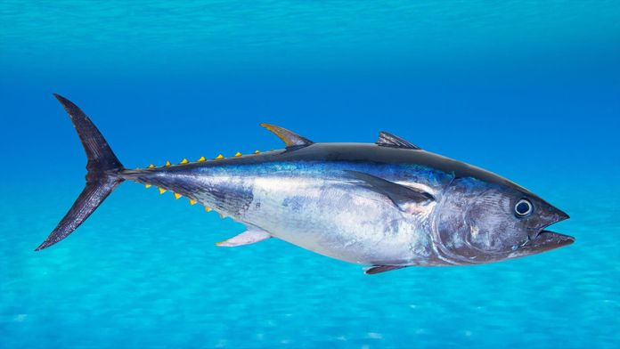 La pêche du thon rouge en Manche