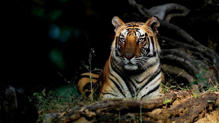 Tigres en péril