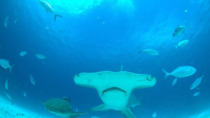 Méga requin-marteau