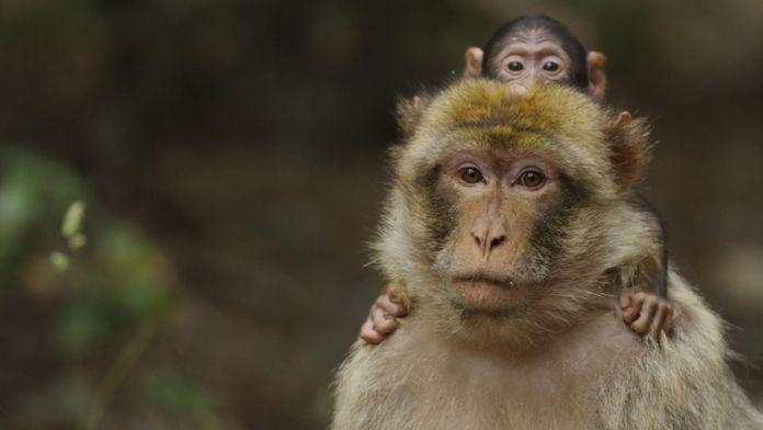 Macaques de Barbarie, la force du lien