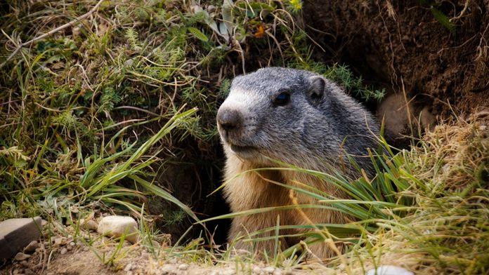 Marmottes en territoire hostile