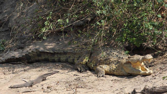 Crocodiles, des parents attentionnés