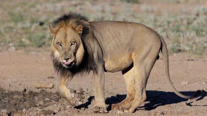Les lions cannibales