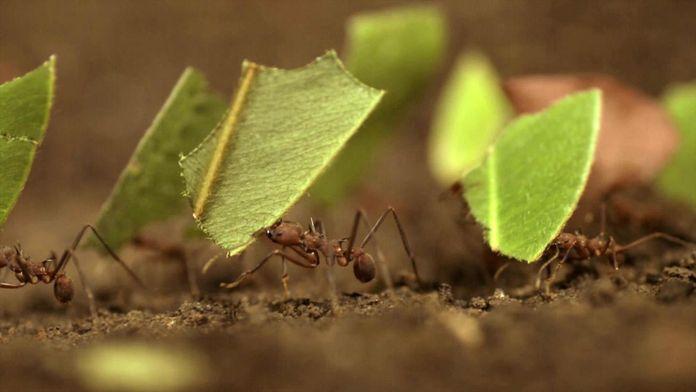 Les fourmis coupe-feuille