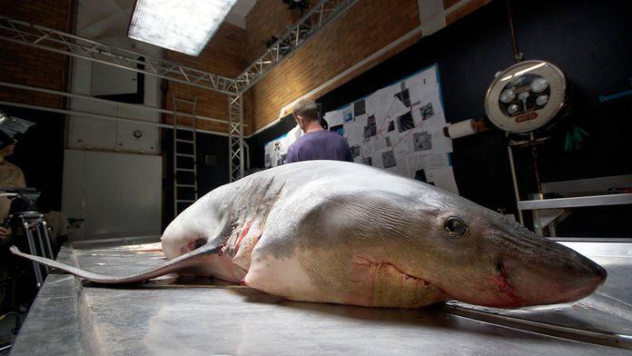 Le grand blanc, autopsie d'un prédateur