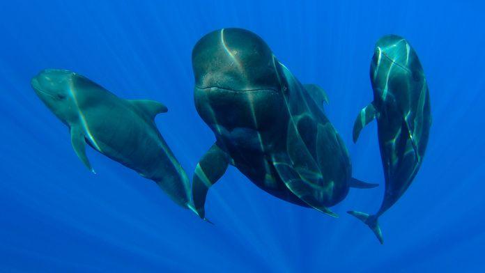 Plongée avec les baleines-pilotes