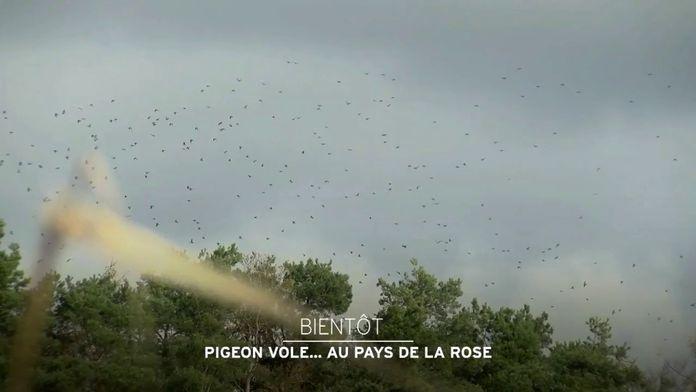 Pigeon vole... Au pays de la rose