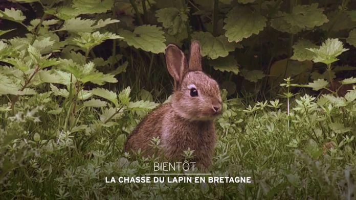 La chasse du lapin en Bretagne