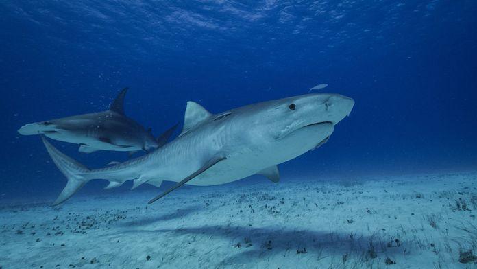 Requins et volcans, forces de la nature