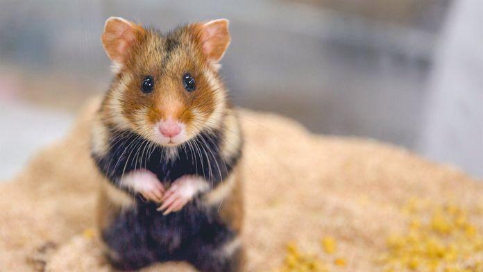 Le hamster d'Europe : La survie dans les champs : La survie dans les champs