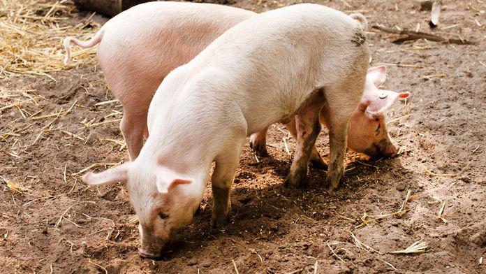 La vie secrète des animaux de la ferme : Les cochons ont tout bon